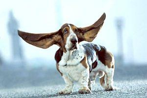 pag20_cane orecchie