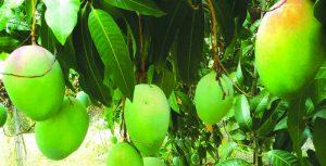 pag15_mango frutto