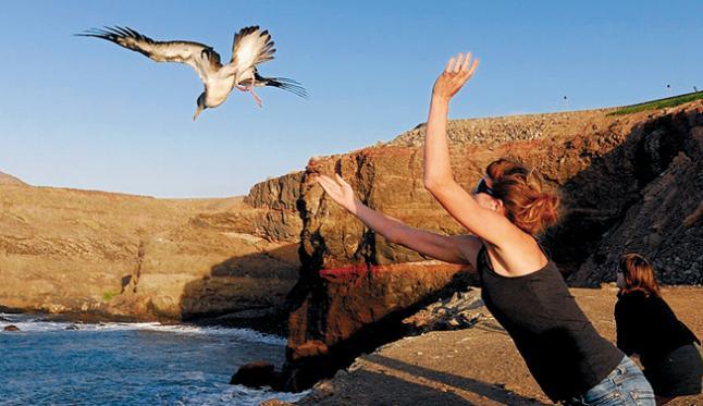 gran-canaria-recupera-suelta-1100-pollos-pardela-cenicienta
