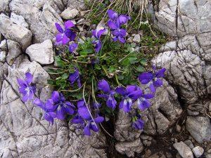 Viola_alpina_a3
