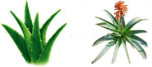 coltivare-aloe
